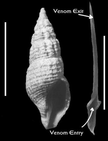 Ron Shimek's Website    Turrid Biology